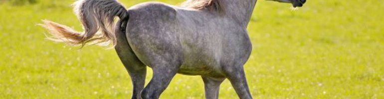 Оттенки серой масти лошадей