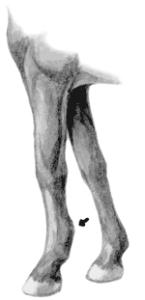 заболевание сухожилия у лошади