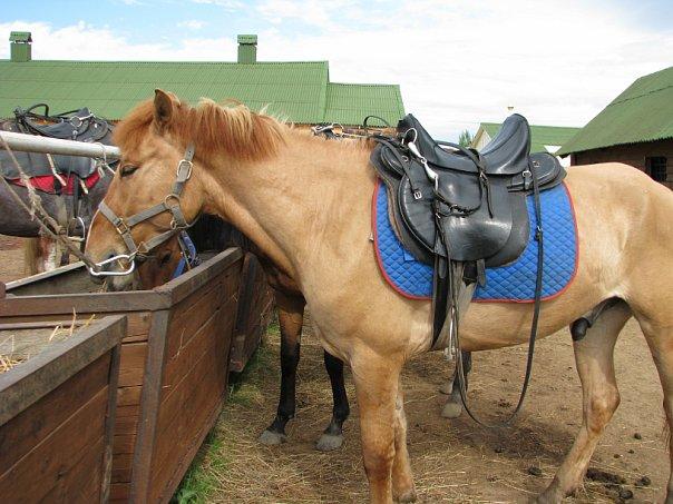 Каурая масть лошади: фото, какой это цвет