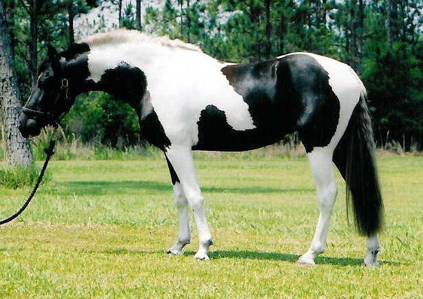 Вороно-пегая лошадь