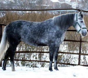 лошадь серой масти