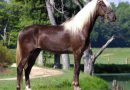 Игреневая масть лошадей