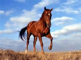 лошадь кроваво-гнедой масти