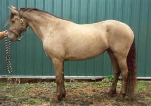 лошадь янтарной масти