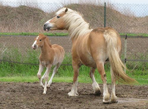 Авелинская порода пони с жеребенком, фото