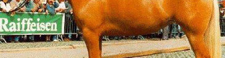 Авелинская порода пони