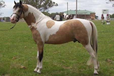 Австралийский пони, фото