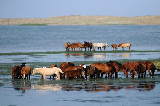 Адаевские лошади на водопое, фото