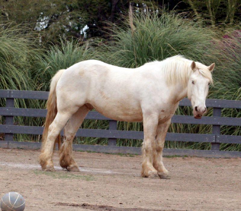 Американская лошадь кремового цвета, фото