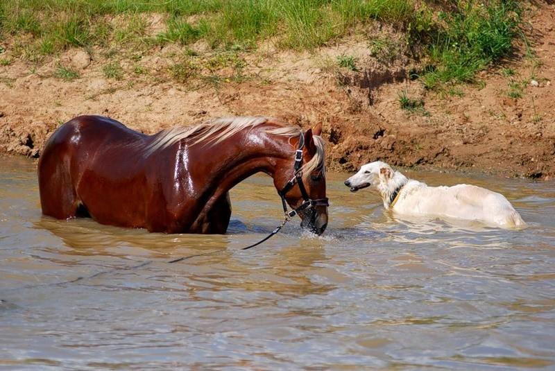 Ацтекская лошадь на водопое, фото