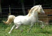 Порода пони Велара