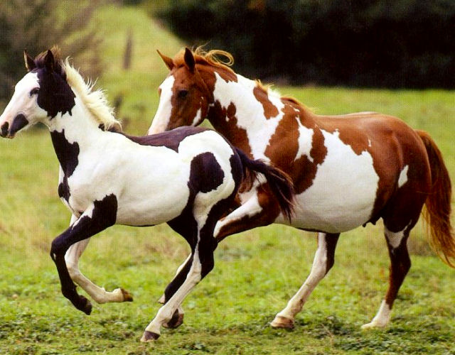 Бегущие лошади породы пинто, фото