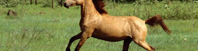 Тиморский пони
