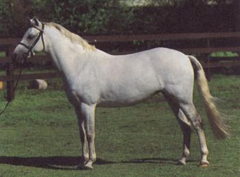 Белый Австралийский пони, фото