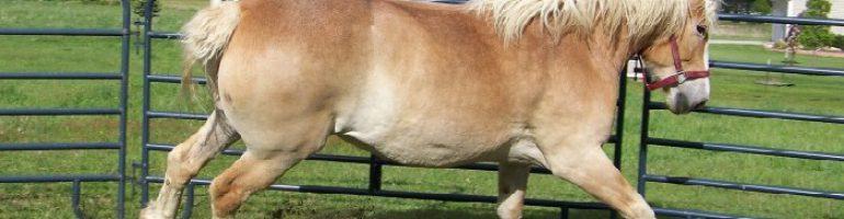 Брабансон или бельгийская тяжеловозная порода лошадей