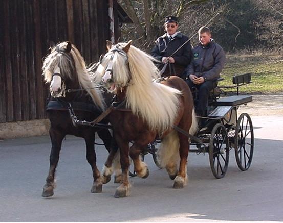 Блэк Форрэст-Пони в упряжке, фото