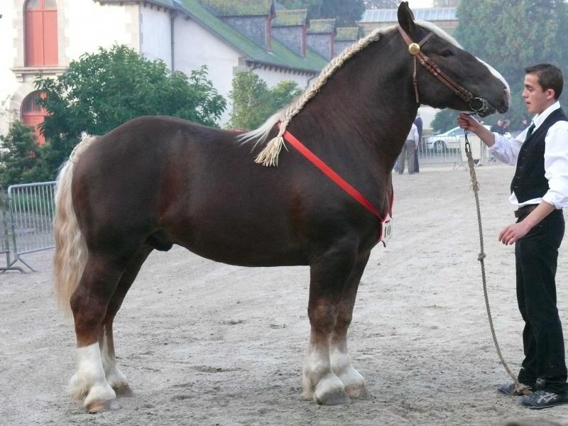 Бретонская тяжеловозная лошадь с хозяином, фото