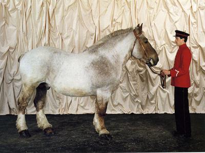 Бретонская тяжеловозная лошадь, фото