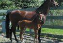Венгерская теплокровная порода лошадей