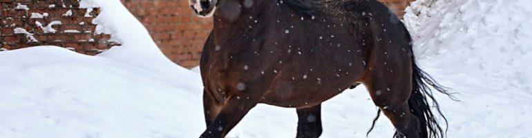 Лошадиные породы тяжеловозов — список