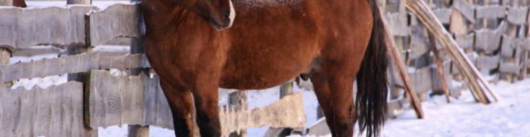 Вятская лошадь (Вятка)