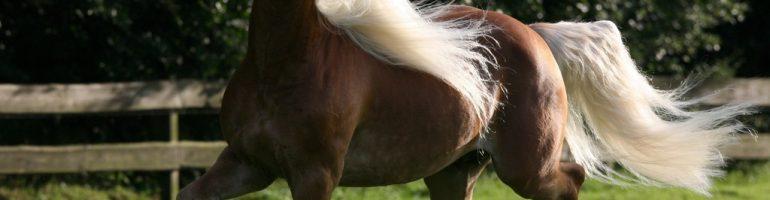 Гафлингерская порода лошадей (гафлингер)