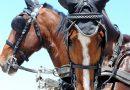Гельдерлендская порода лошадей (гелдерландер)
