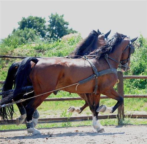 Гельдерлендская лошадь (гелдерландер) на ходу, фото