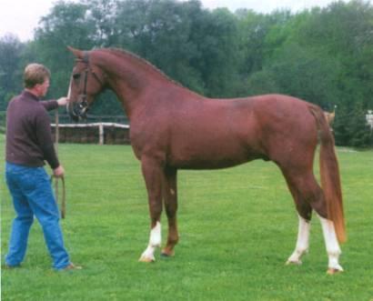 Гельдерлендская лошадь (гелдерландер), фото