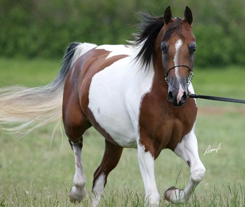Гнедая лошадь породы пинто, фото