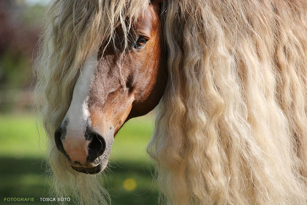 Голова Блэк Форрэст-Пони, фото