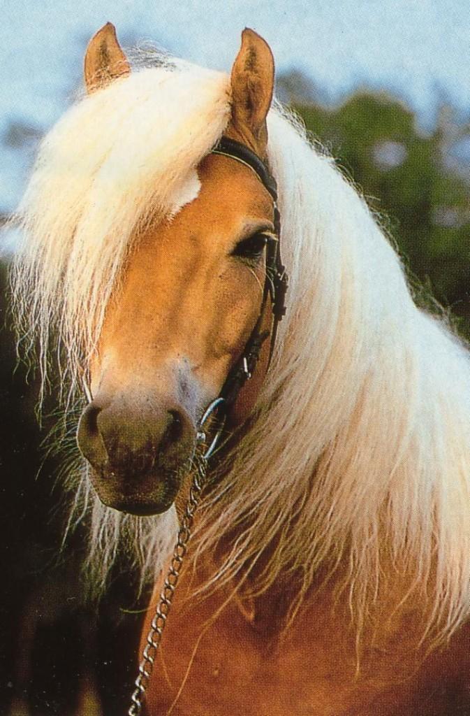 Голова Гафлингерской лошади (гафлингер), фото