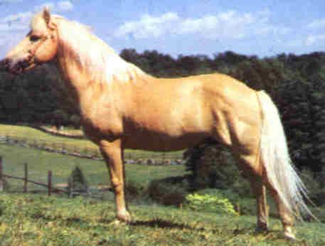 Готландский пони, фото