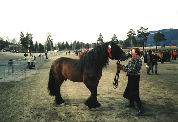 Гудбрансдальская упряжная лошадь с хозяином, фото
