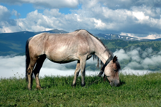 Гуцульский пони или гуцул, фото