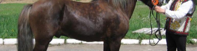 Гуцульский пони или гуцул