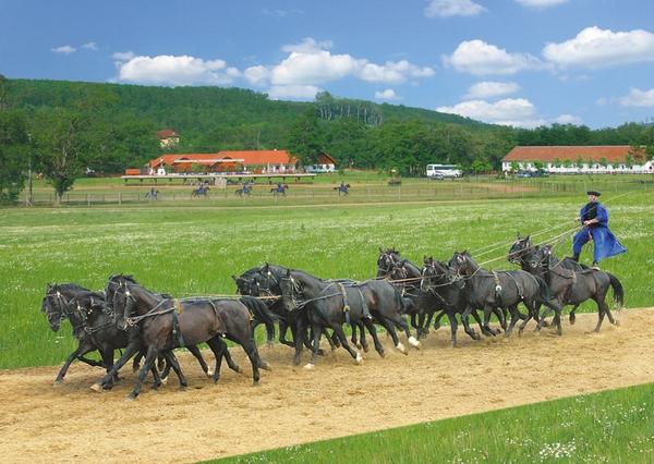 Дунайская порода лошадей в упряжке, фото