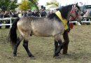 Жмудская порода лошадей