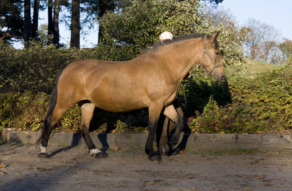 Жмудская порода лошадей с хозяином, фото
