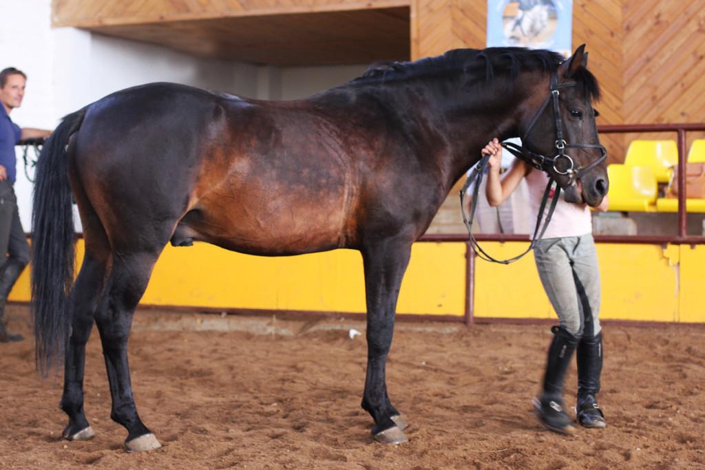Жмудская порода лошадей, фото