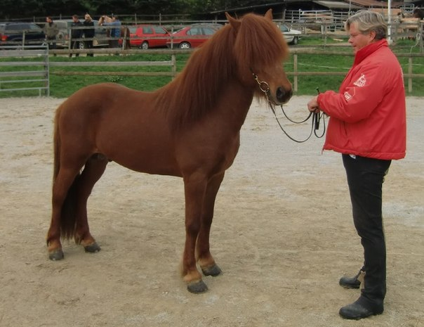 Исландский пони с хозяйкой, фото
