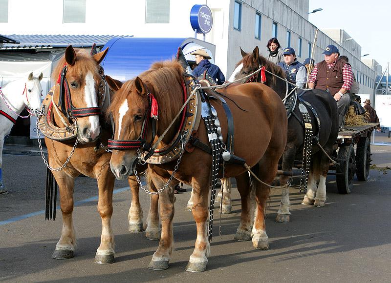 Итальянские тяжеловозные лошади в упряжке, фото