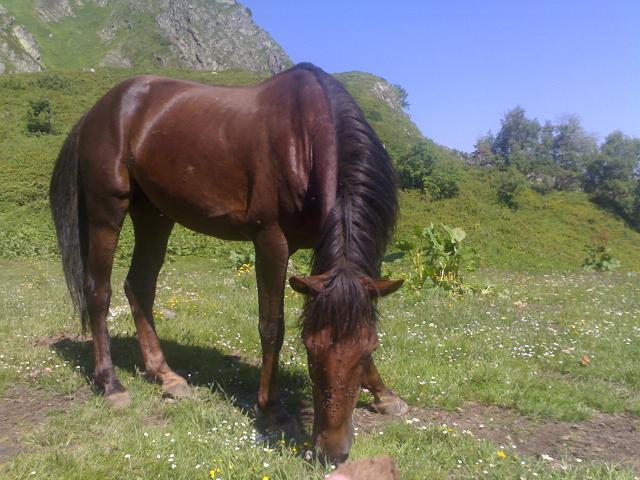 Каспийская лошадь, фото