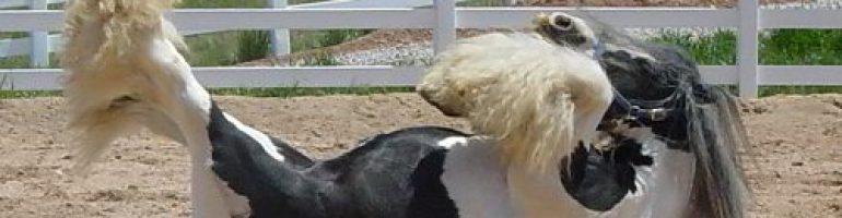 Лошади породы клейдесдаль (шотландский тяжеловоз)