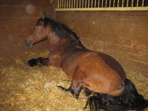 Кливлендская гнедая порода лошадей в конюшне, фото