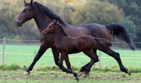 Кливлендская гнедая порода лошадей с жеребенком, фото