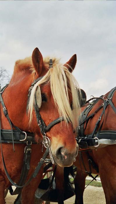 Комтойская тяжелоупряжная лошадь, фото