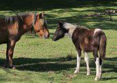 Баскский пони
