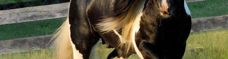 Порода лошадей нормандский коб