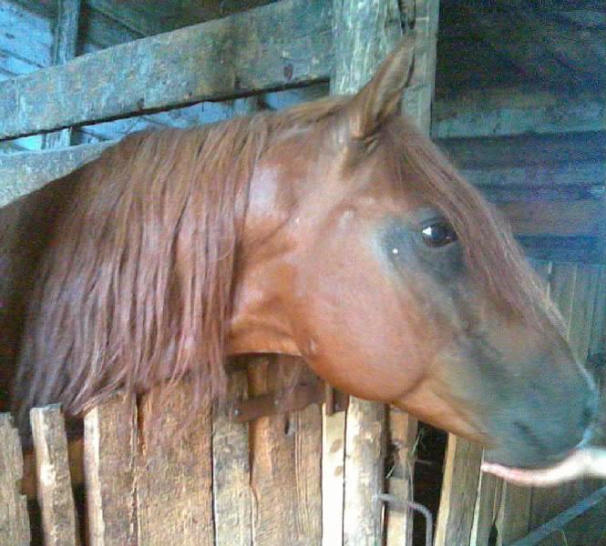 Кушумская лошадь в конюшне, фото
